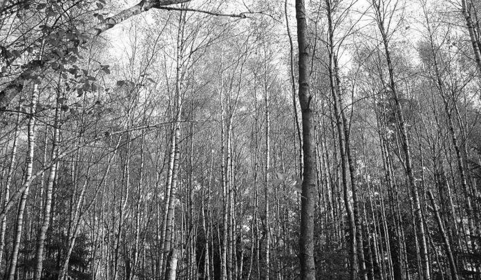 Brzozy na Brzozowym Mostku, fot. Dariusz Pawlicki